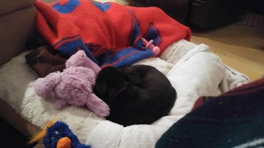 Bella Sleeping In Her Plush Bed